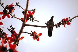 Bird on Silk Cotton Tree